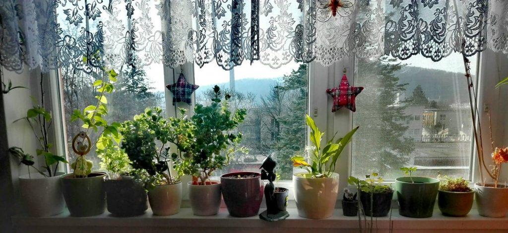 Umiestnenie izbových rastlín na parapet