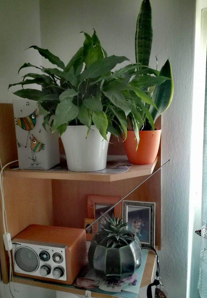 Umiestnenie izbových kvetín na rohovú poličku